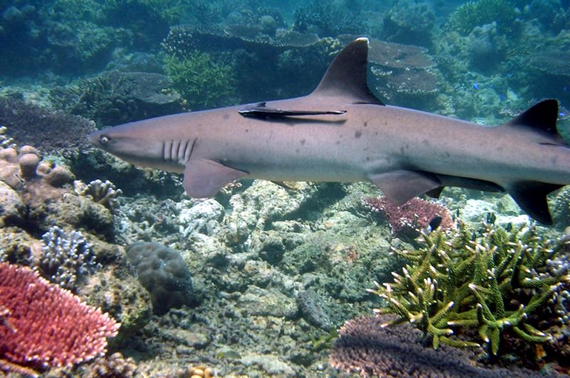 Shark in Coral Reef